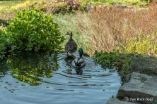 two ducks in a pond