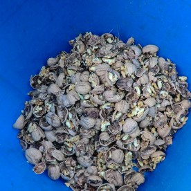 Freshly cracked walnuts