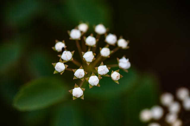 small cluster of unopened, star-like, spirea blossoms on deep field of green