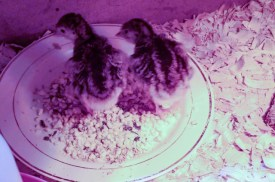 Two turkey chicks standing in their bowl of food by a red and white plastic automatic waterer