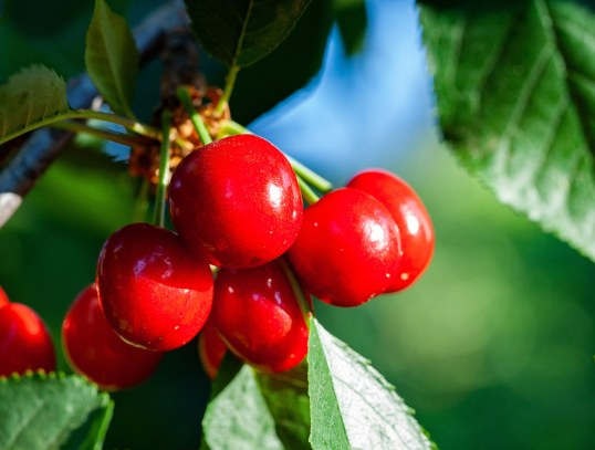 cluster of nine, deep red cherries hanging on tree with green leaves and blue sky in background