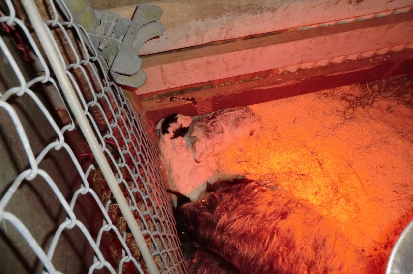Two little kids nestled together in corner of stall with heat lamp and momma goat