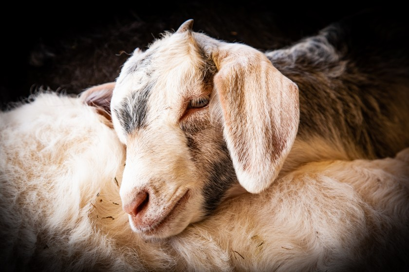 baby goat sleepy-resting her head on her brother
