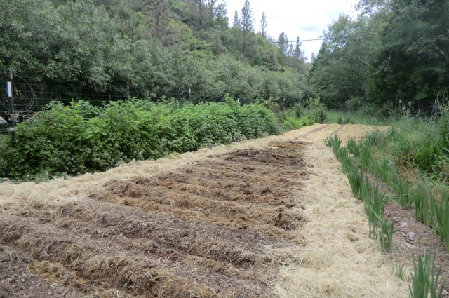 A picture with a large depth of field showing mounds of soil covered in straw. There is heavy green foliage from tall berry plants on the left and a couple rows of flowers on the right