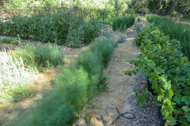 rows of green, growing plants in an organized garden