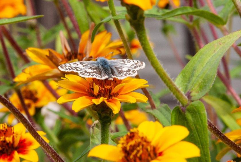 a brown and white moth is sitting on top of a yellow flower