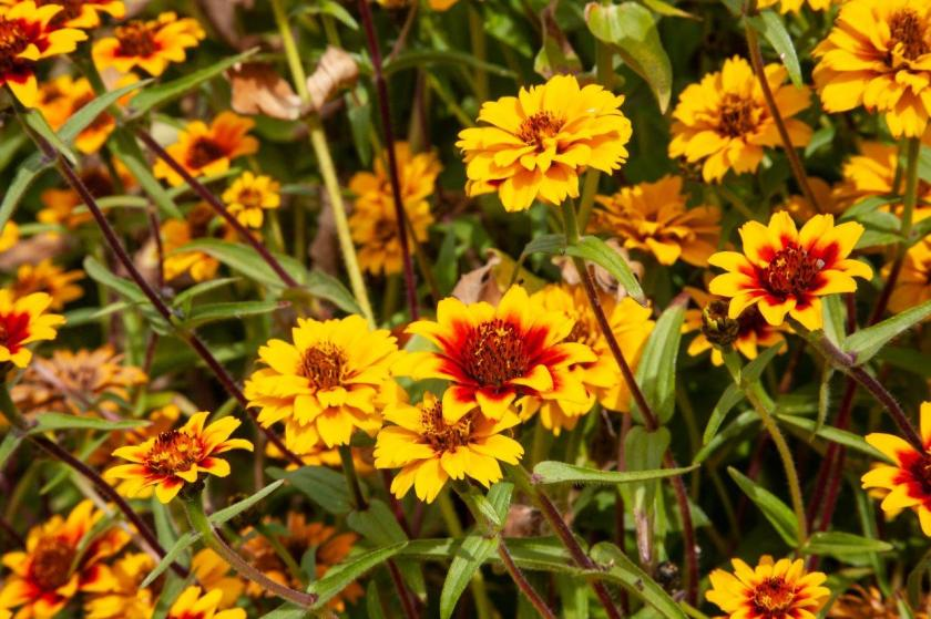 Yellow flowers with red centers