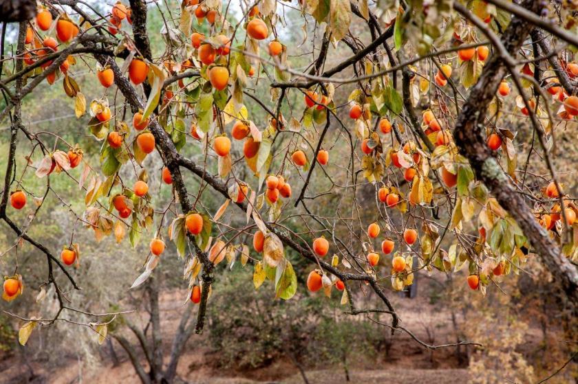 Orange persimmons hanging on tree limbs like christmas ornaments dangle on a tree.