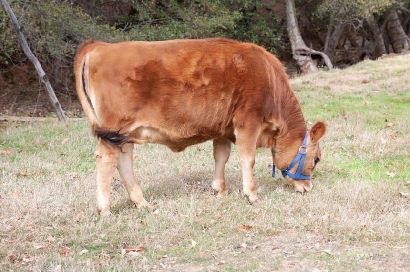 A brown, Jersey heifer swishes her tail while grazing.
