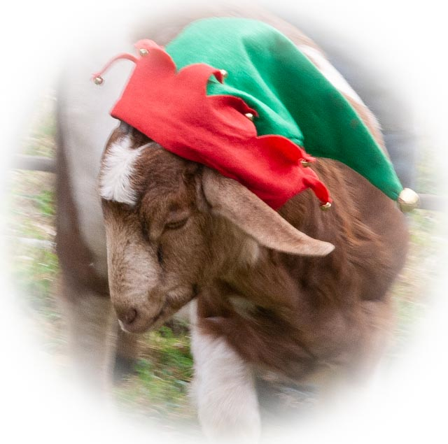 Goat kid in elf hat