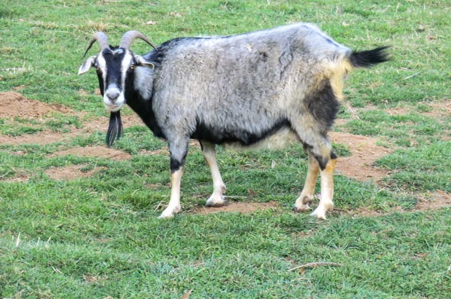 Side view of a gray, black and white Alpine goat