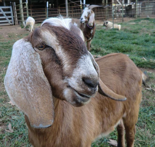 profile of goat kid face