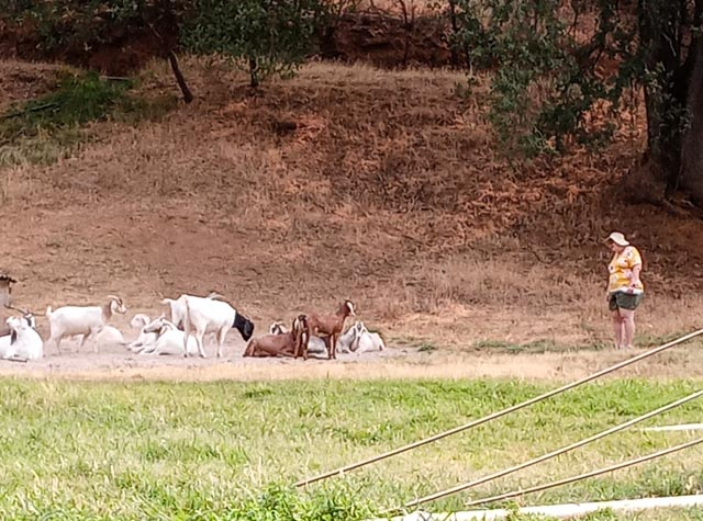 a person approaching a herd of goats laying on the sand