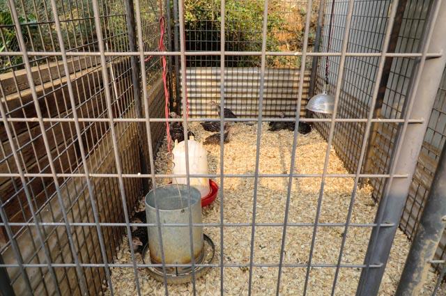 several turkeys inside a fortified, metal pen