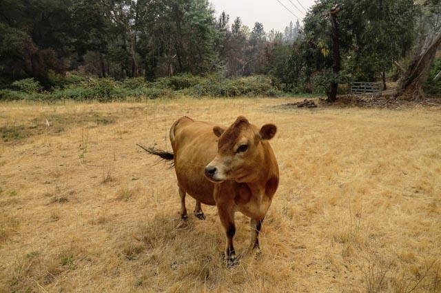 a jersey heifer in a brown field
