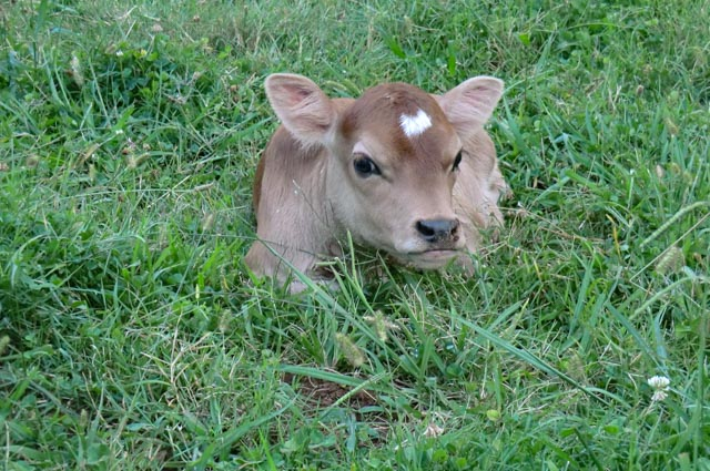 A calf laying in green grass
