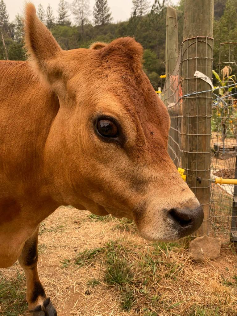 a picture of a cow's face with big brown eyes