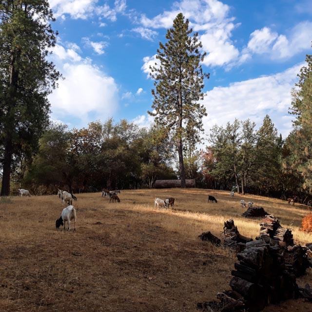 a field of goats grazing