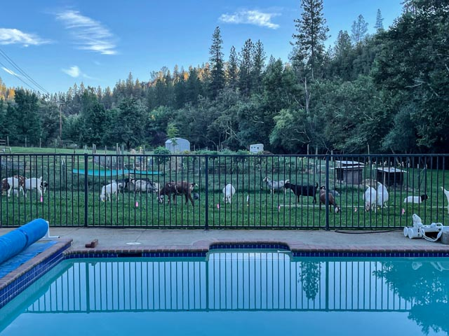 Foreground swimming pool, mid-ground goats, background forest and pasture