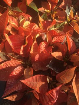 2BD - Poinsettias_copper