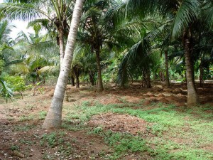 coconut trees in India