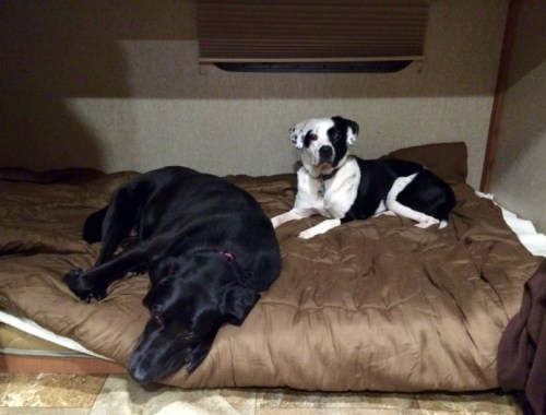 Bailey and Naya on their bed in the new camper