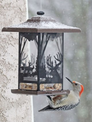 Red-breasted-Woodpecker