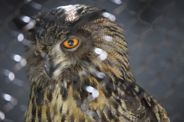 Great Horned Owl. Center for Birds of Prey, Awendaw, SC