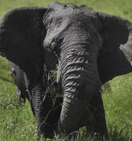 Hungry Elephant. Serengeti National Park, Tanzania