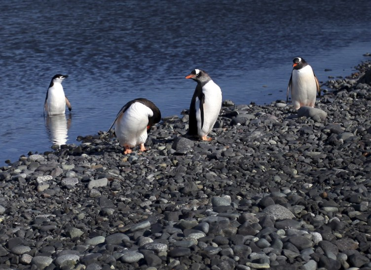 A group of gentoo penguins gather on shore, while a lone chinstrap penguin waits to join the party.