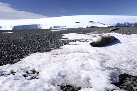 A fur seal napping on a patch of ice.