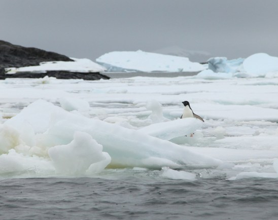 An Adelie penguin playing peek-a-boo as we cruise by in the Zodiac.