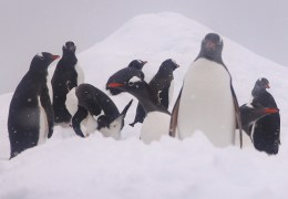 Penguins, doing what penguins do.