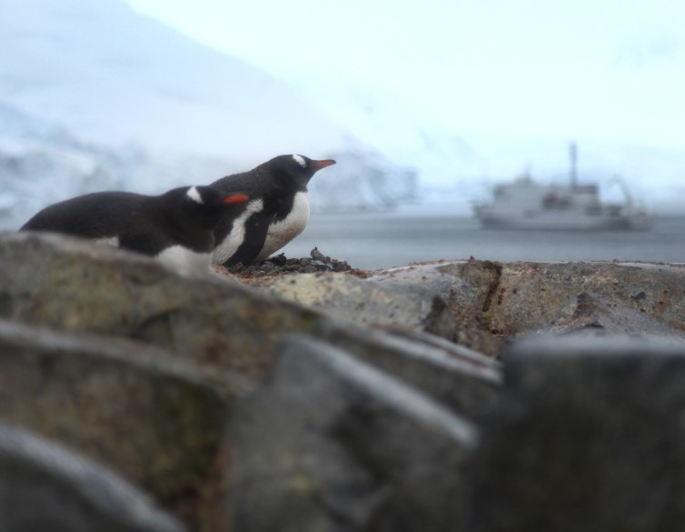 Penguins on their nests.