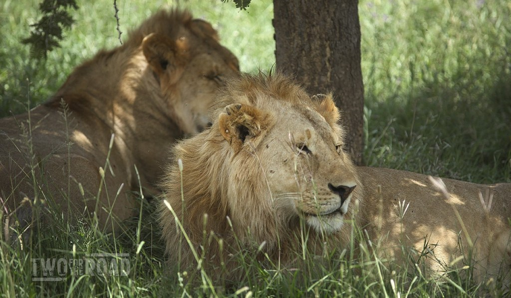 Two for the Road: African Lions - Facts and Photos