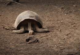 Photo of the Day: Nap Time for a Galapagos Giant Tortoise