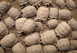 Photo of the Day: A Giant Tortoise Traffic Jam in the Galapagos