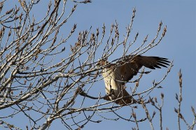A red-tailed hawk at liftoff! Beautiful!
