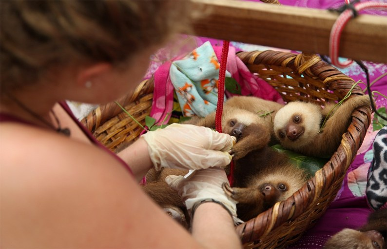 Yes. A basket of baby sloths. At the Jaguar Rescue Center, Puerto Viejo (Costa Rica).