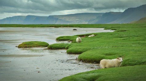 Icelandic sheep! You'll see herds of sheep roaming freely across much of Iceland, just as they have for generations.