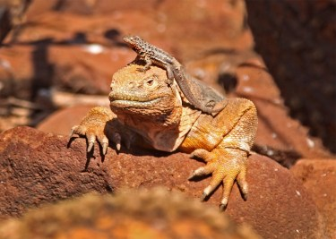 Love this shot! The lizards sometimes partner with the iguanas, helping keep flies and other annoying insects off of them.