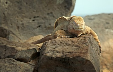 A Santa Fe land iguana. A type found - again - only on the island of Santa Fe and nowhere else on earth.