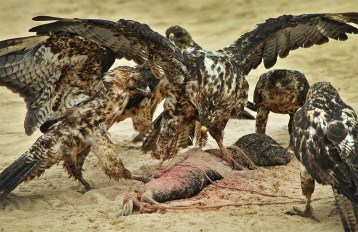 Wow! Amazing and heartbreaking at the same time. A cast of hawks (which is what you call a group of hawks) feed on the carcass of a newborn baby sea lion on the island of Santa Fe. These are Galapagos Hawks - found nowhere else on earth - and they are gorgeous. And fierce! (Poor little baby!) #natureismetal