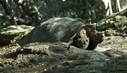 And of course we saw giant tortoises! Like this guy on the island of San Cristobal.