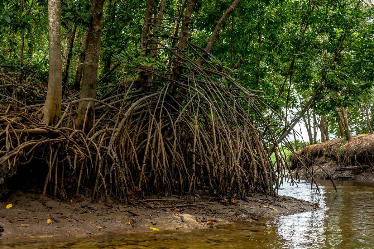 mangroveskov i thailand