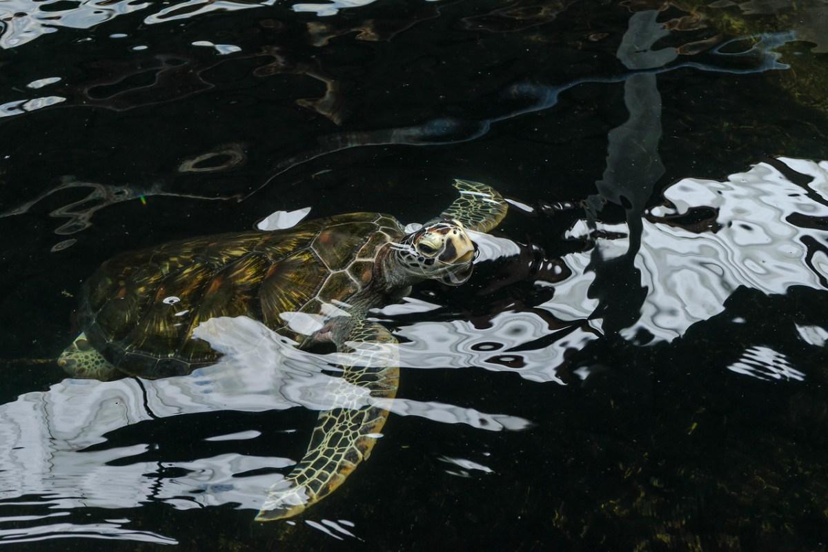 skildpadde i basin
