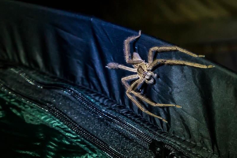 edderkop i jungle