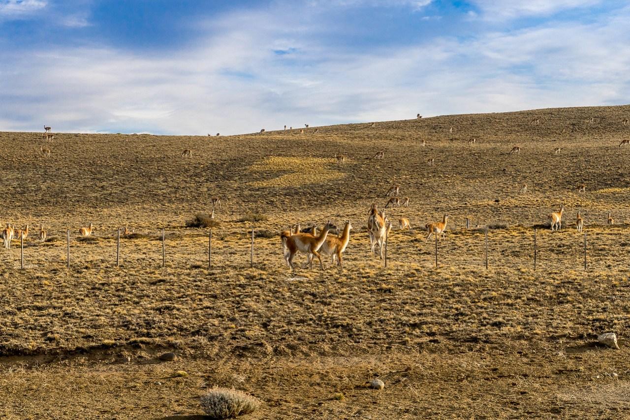 guanaco patagonien