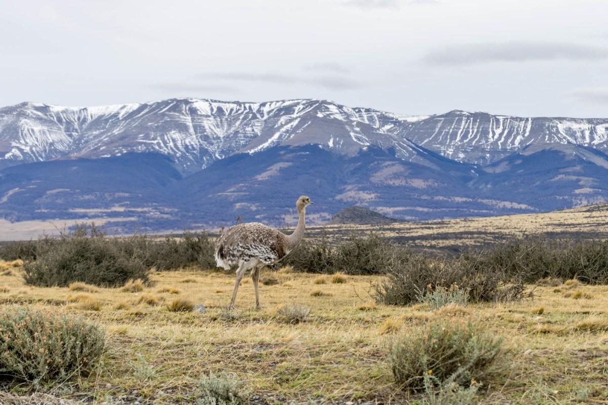 patagonien billeder nandu