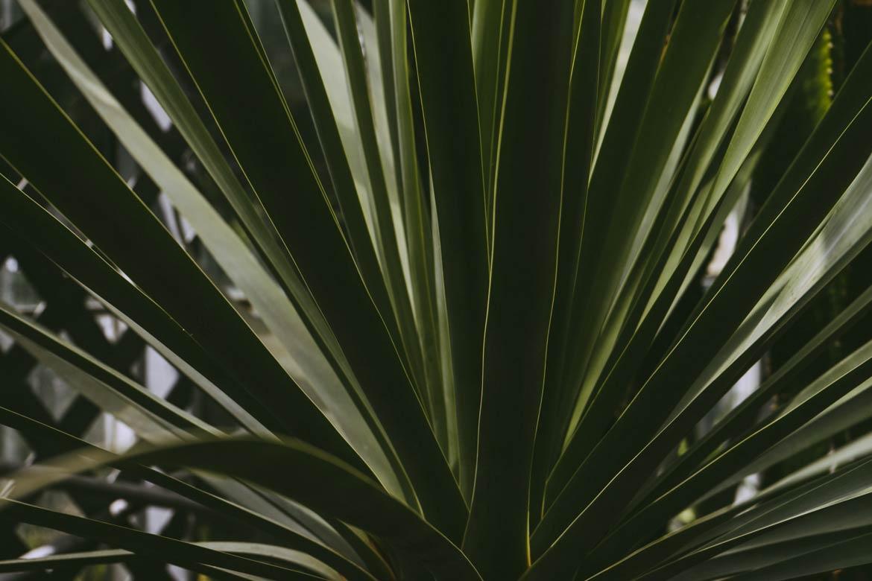 Juka - kwiaty łatwe w uprawie